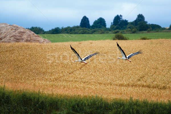 Weiß Storch zwei Himmel grünen blau Stock foto © artush