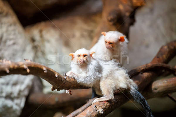 silvery Marmoset on branch Stock photo © artush