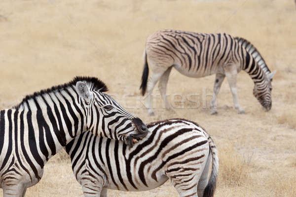 Burchell's zebra with foal, Equus quagga burchellii. Stock photo © artush