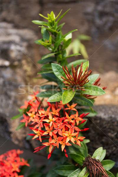 Vad virág Bali virágzó növények család Stock fotó © artush