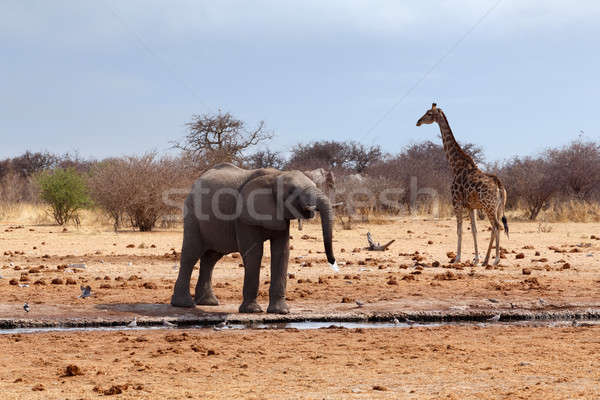 Elephant in front of waterhole Stock photo © artush