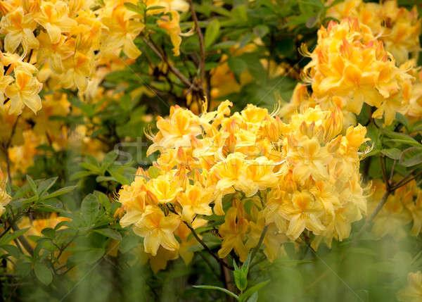 Citromsárga azálea bokor virág tavasz kert Stock fotó © artush