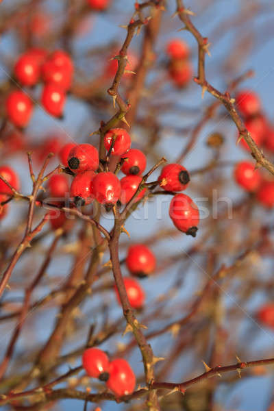 Red berries of rose bush in winter Stock photo © artush