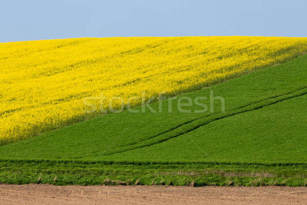 Yellow and green spring field in countryside Stock photo © artush