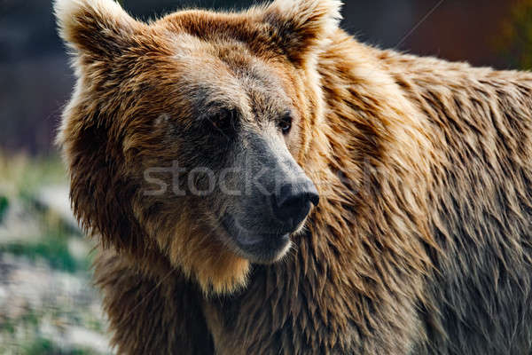Himalayan brown bear (Ursus arctos isabellinus) Stock photo © artush