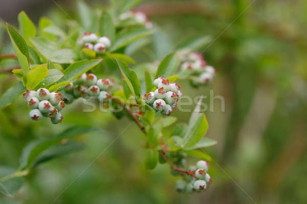 twig of Unripe big blue berry fruit Stock photo © artush
