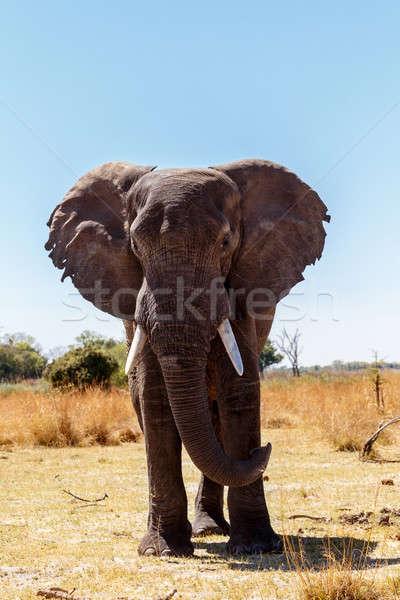 Afrika fil oyun park portre Namibya yaban hayatı Stok fotoğraf © artush