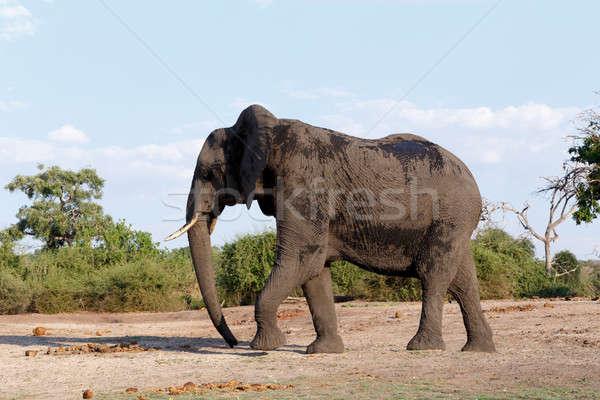 Elefante africano parco ritratto Botswana fauna selvatica fotografia Foto d'archivio © artush