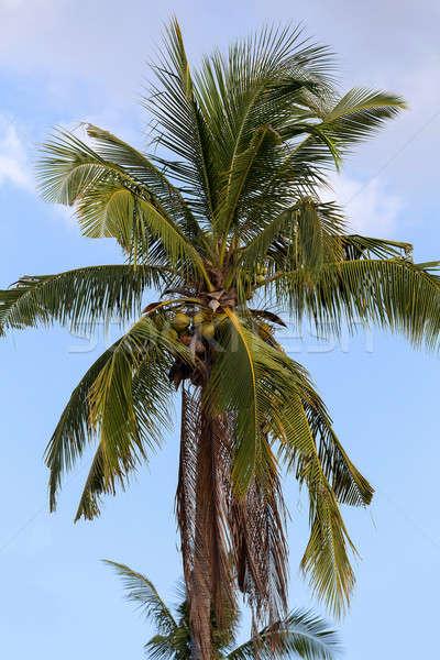 coco-palm tree against blue sky Stock photo © artush