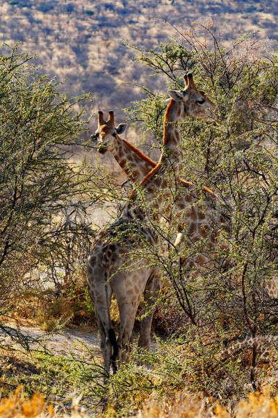 Yetişkin kadın zürafa ağaç park Namibya Stok fotoğraf © artush