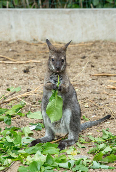 Red-necked Wallaby baby grazing Stock photo © artush