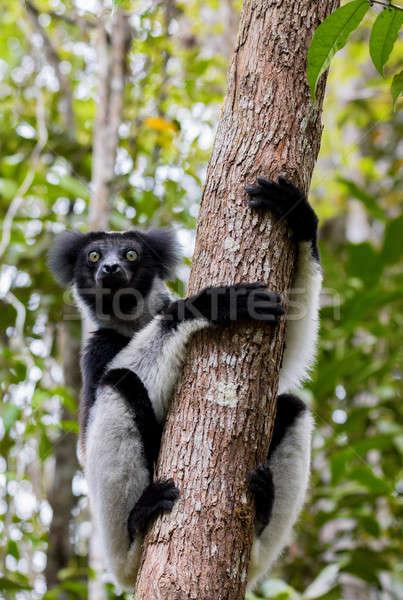Black and white Lemur Indri on tree Stock photo © artush