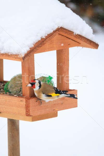 Сток-фото: европейский · простой · птица · домашний