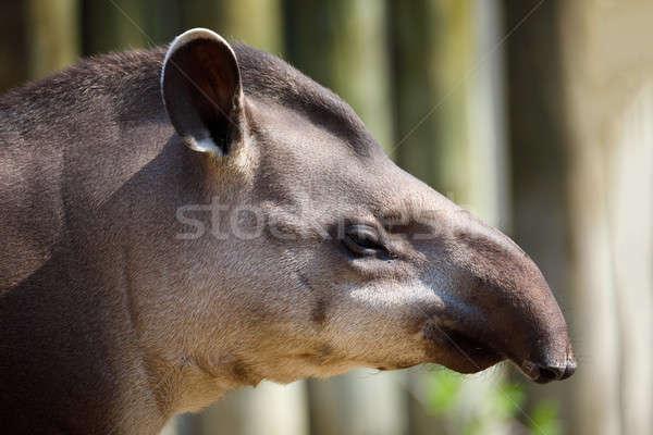 Größte Ureinwohner säugetier amazon Wasser Stock foto © artush