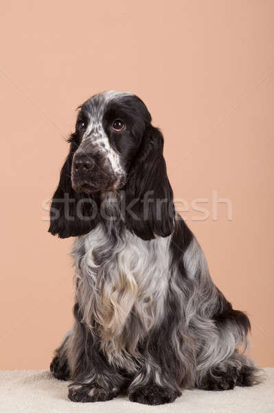 Hond Engels europese kampioen teelt station Stockfoto © artush