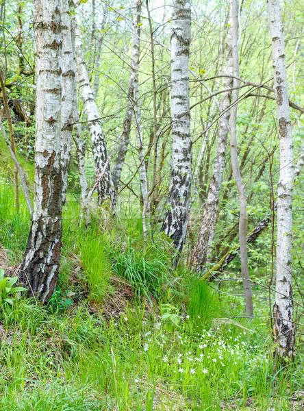 birch tree in countryside Stock photo © artush