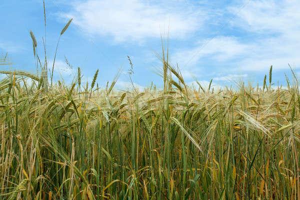 field of organic green grains Stock photo © artush