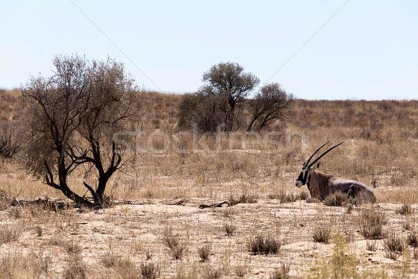 Gemsbok, Oryx gazella Stock photo © artush