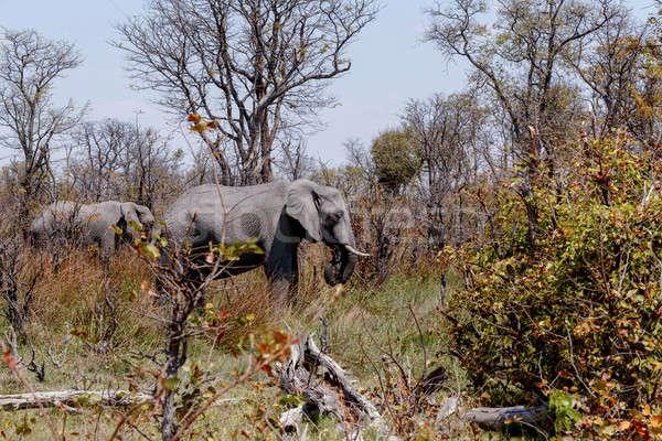 Elefante africano gioco riserva delta selvatico Botswana Foto d'archivio © artush