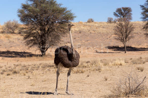 Ostrich Struthio camelus, in Kgalagadi, South Africa Stock photo © artush