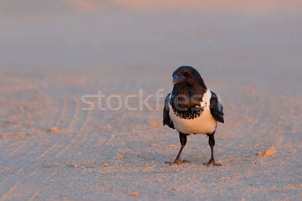 Pied crow in namib desert Stock photo © artush