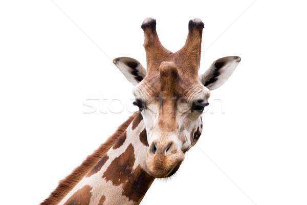 young cute giraffe Stock photo © artush