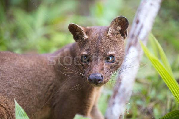 Húsevő emlős Madagaszkár ragadozó tartalék vadvilág Stock fotó © artush