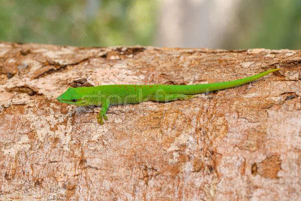 Stock photo: Phelsuma madagascariensis day gecko, Madagascar