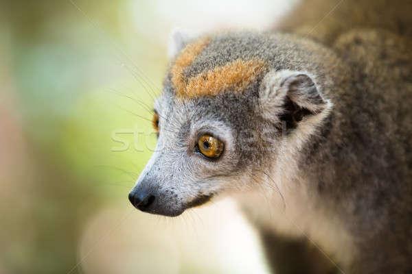 crowned lemur Ankarana National Park Stock photo © artush
