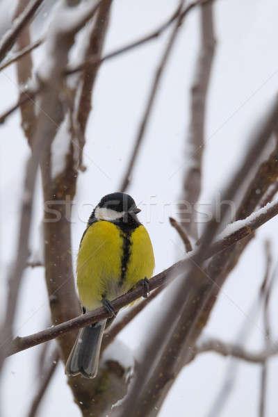 Schönen wenig Vogel groß tit Winter Stock foto © artush
