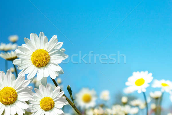 white marguerite flowers Stock photo © artush