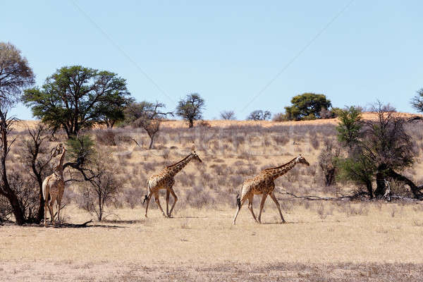 Giraffa camelopardalis in african bush Stock photo © artush