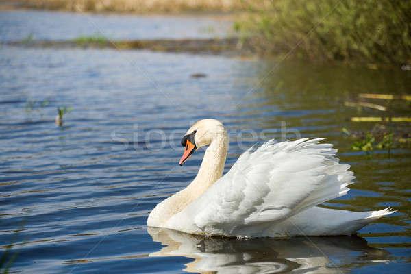Dempen zwaan vogel water alleen Tsjechische Republiek Stockfoto © artush
