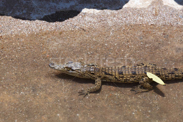 baby of a Nile Crocodile Stock photo © artush
