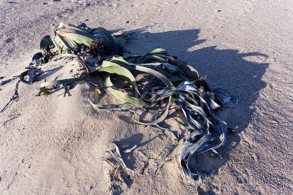 Incroyable désert usine vie fossile exemple Photo stock © artush