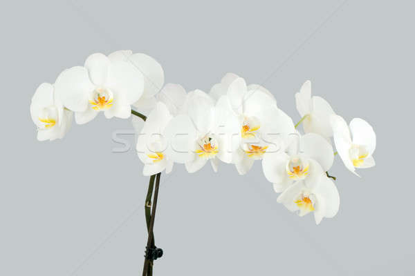 ág fehér orchidea szürke edény tavasz Stock fotó © artush