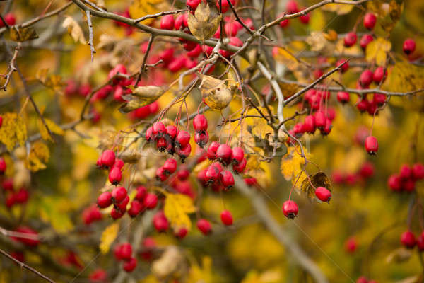 wild rosehips in nature, beautiful background Stock photo © artush