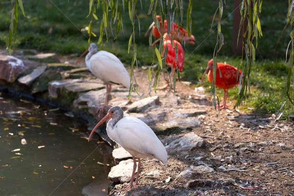 white ibis (Eudomiscus albus) Stock photo © artush