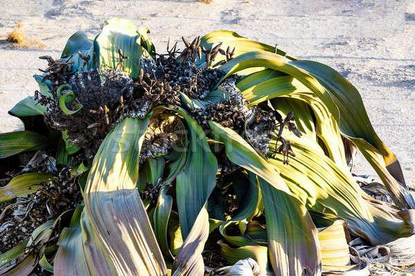 Asombroso desierto planta vida fósil ejemplo Foto stock © artush