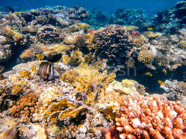 коралловые рыбы Египет бабочка Сток-фото © artush