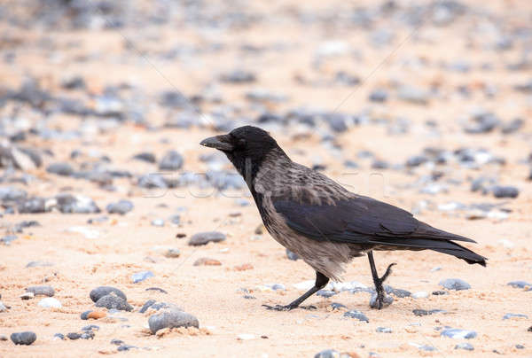 carrion crow on the beach in Helgoland Stock photo © artush
