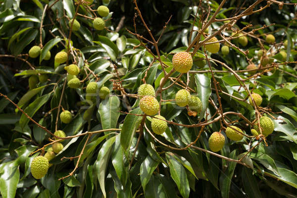 Unripe exotic fruit Lychee, madagascar Stock photo © artush