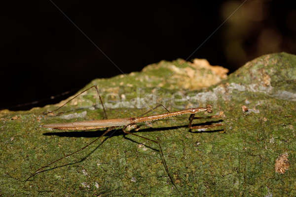 praying mantis on leaf, Madagascar Stock photo © artush