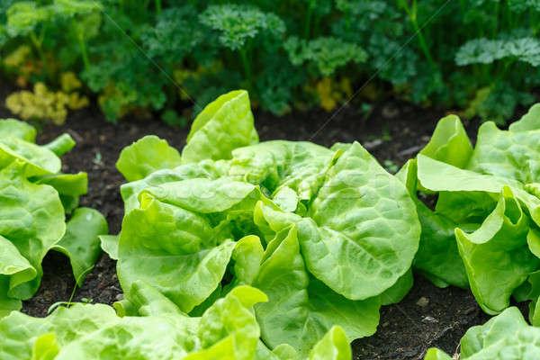 зеленый салата теплица свежие домой природы Сток-фото © artush