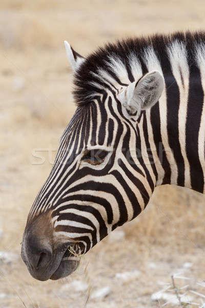 Zebra portrait. Burchell's zebra, Equus quagga burchellii. Stock photo © artush