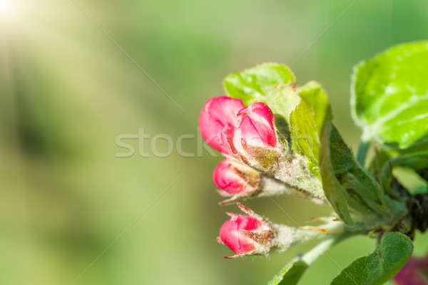 Pomme bourgeon printemps arbre peu profond accent Photo stock © artush