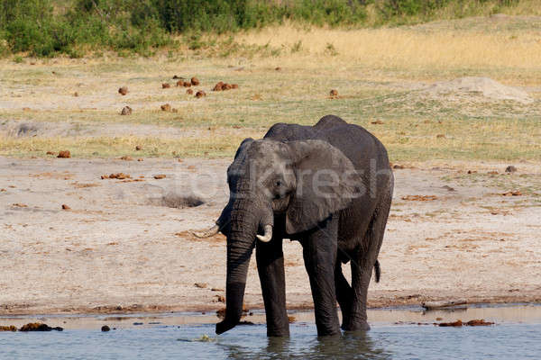 herd of African elephants drinking at a muddy waterhole Stock photo © artush