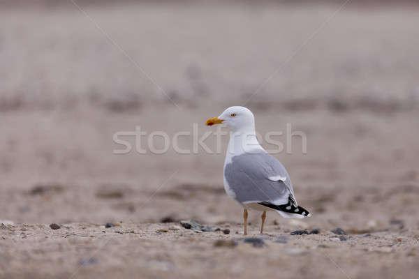 European Herring Gulls, Larus argentatus Stock photo © artush