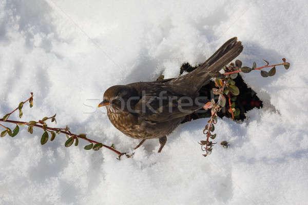 female of Common blackbird bird Stock photo © artush