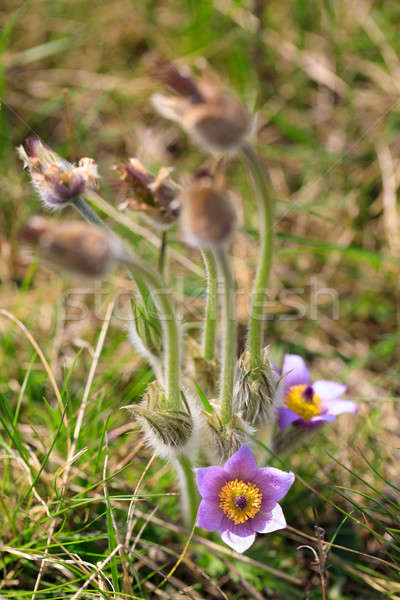 blooming and faded blossom of purple pasque-flower Stock photo © artush